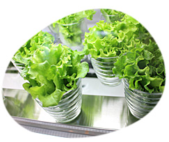 植物工場栽培 無農薬野菜